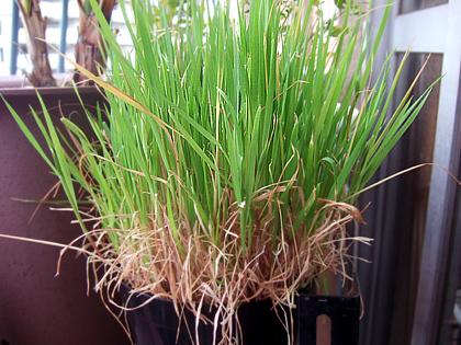 別名カラス麦、オート麦  分類:イネ科カラスムギ属