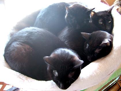 珍しく黒猫4匹だけの盛々状態