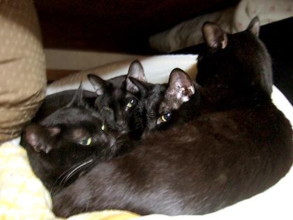 (左から)ちょび、バジル、くま、枕のソレル
