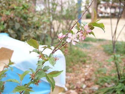 低木過ぎる桜だけど、これもまたいいね♪(*^^*)