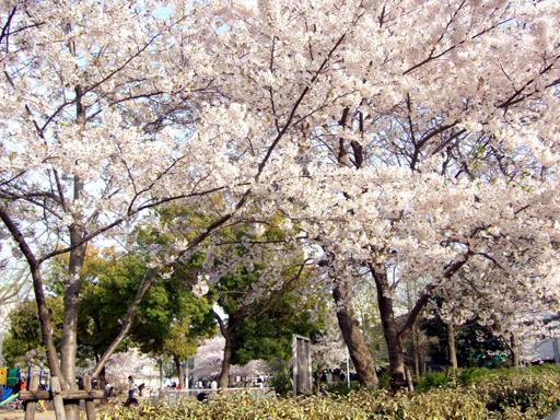この公園の奥は、桜と花見の人でいっぱいでした