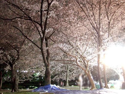 夜桜満喫中