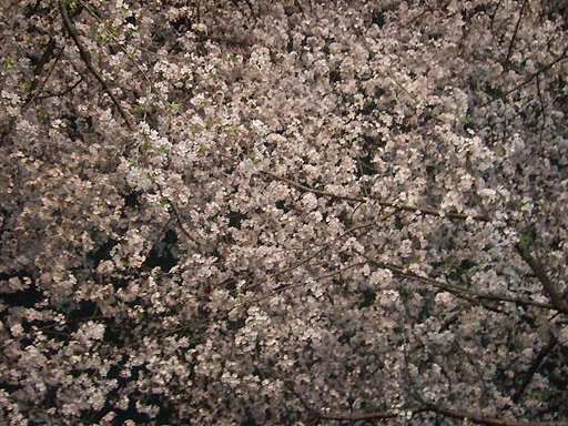 寝転がってみる桜と,外で呑むビールは最高!!