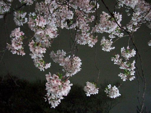 ブーケの集まりのように見える桜の花たち