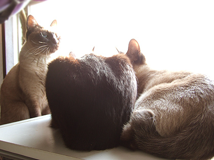 黒猫のお尻姿は、バジルさん