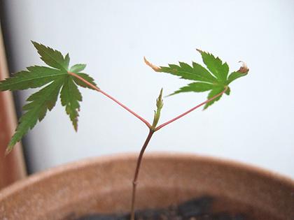 この股の芽が出るまでに、2ヶ月くらいかかりました。