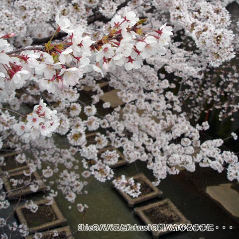 東橋から見た桜