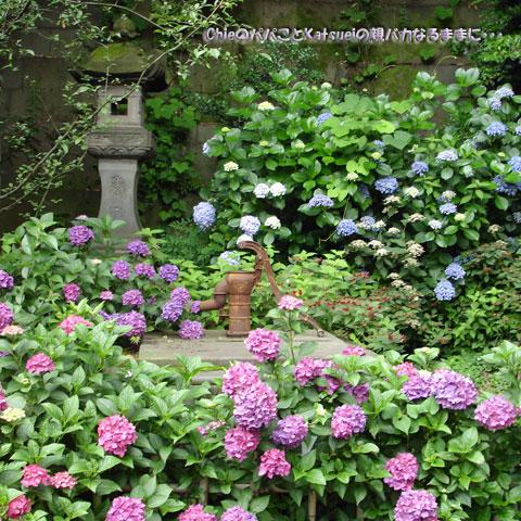 王子稲荷の古井戸と錆付いたポンプと紫陽花