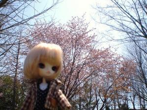 さくら(1)