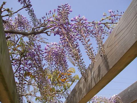 5月2日の藤の花