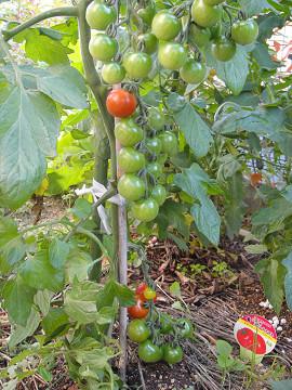 トマトのネックレス 0907070004