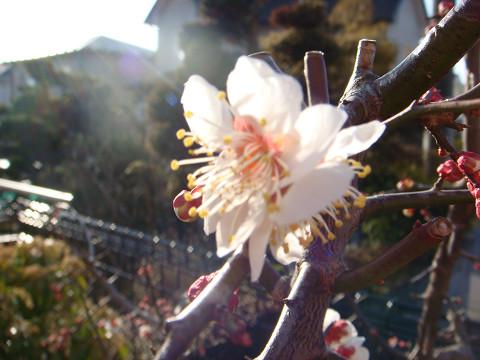 咲き始めて・・