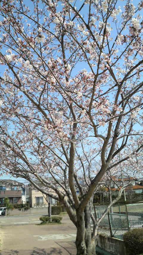 桜がきれい・・・
