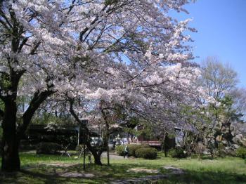 杉並木の側の公園・桜
