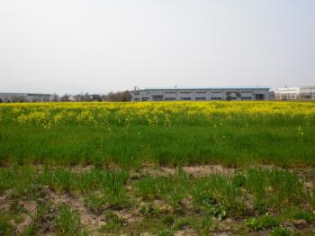 五所川原の菜の花畑