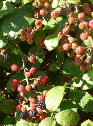 ayu-berries.jpg