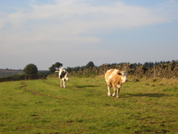 cows_matlock.jpg
