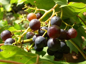 grapejam_grape.jpg