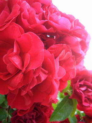 rose2006.jpg