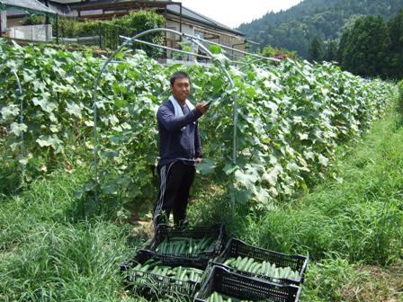 キュウリ収穫