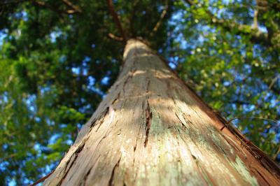 高い高い木