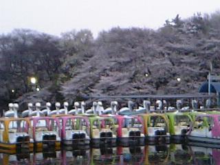 2007_sakura1.jpg