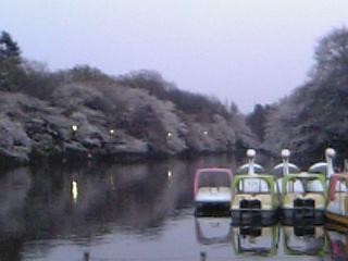 2007_sakura2.jpg