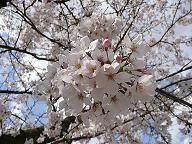 2010年桜