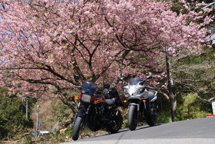 河津七滝-桜