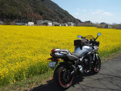 下田菜の花