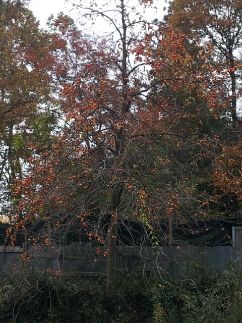 赤目ちゃん 柿の木