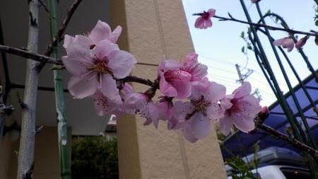桜・・・じゃなくて、桃