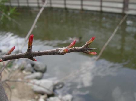 ざくろの芽