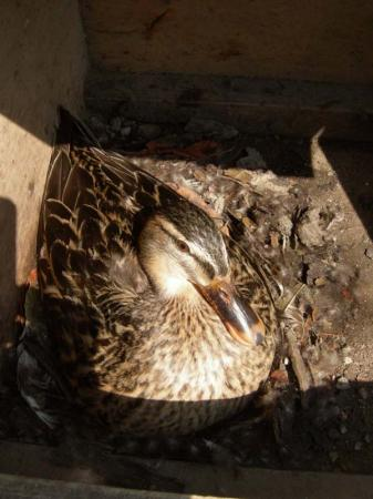 マガモの巣と羽毛