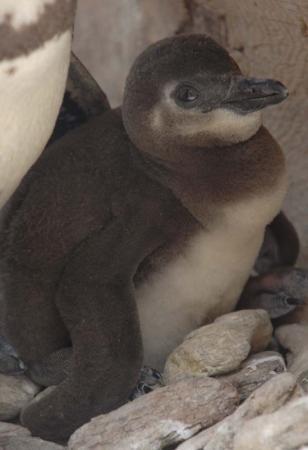 ペンギンヒナ