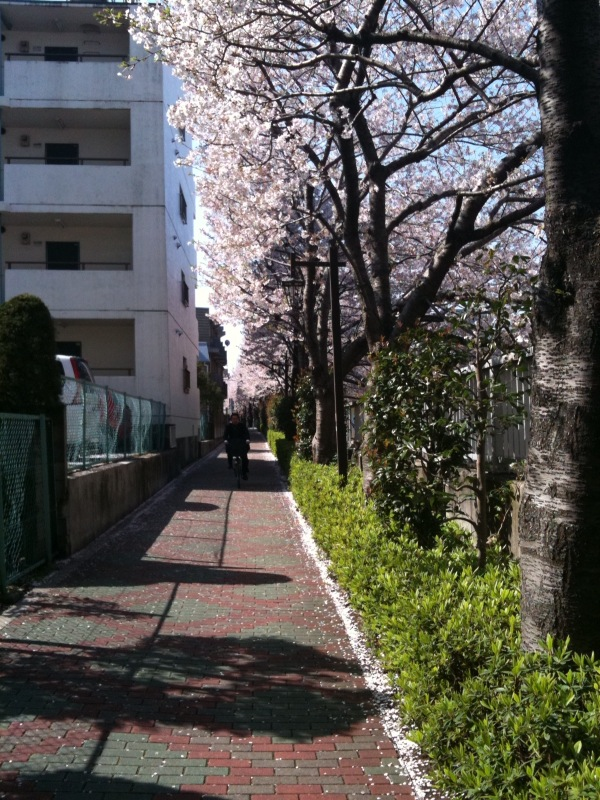 20100408桜並木