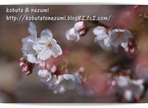 フォト☆桜