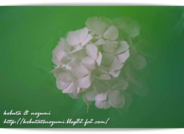 フォト紫陽花