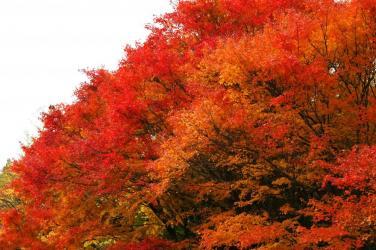 面河ダムの紅葉1
