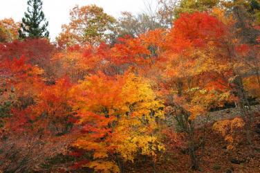 面河ダムの紅葉11