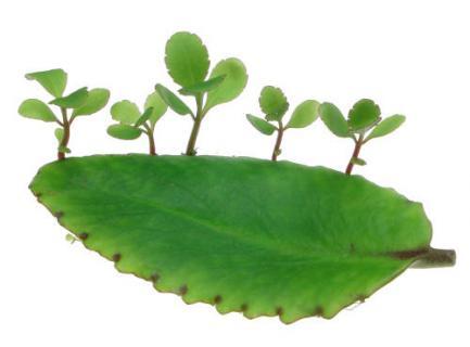 Bryophyllum_pinnatum01.jpg