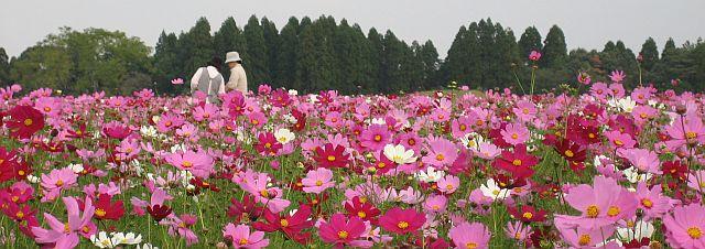 kosumosu1008.jpg