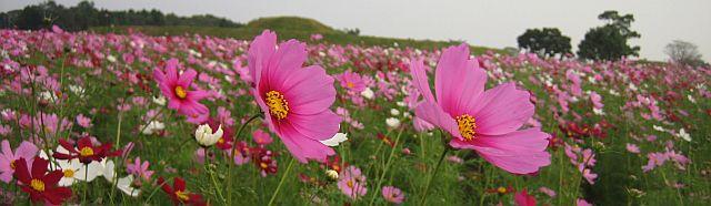 kosumosu10333.jpg