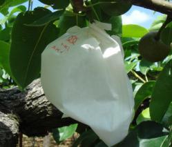 梨の袋かけ3