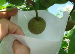 梨の袋かけ2
