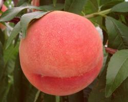 白鳳桃の果実1