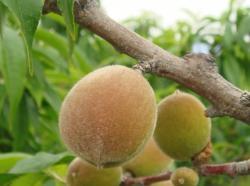 白鳳桃の果実2