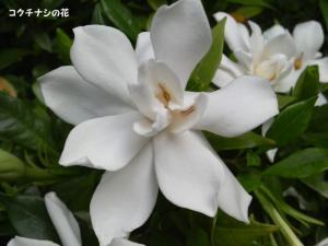 コクチナシの花