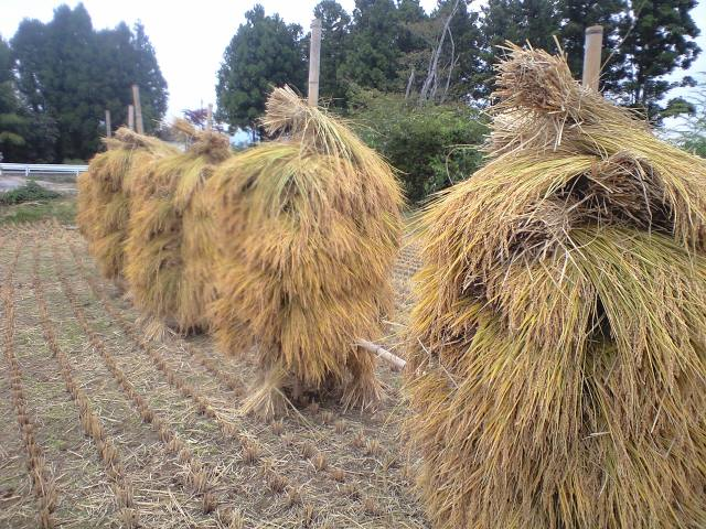 田んぼの稲刈り