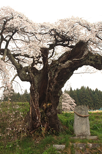 下三坂の桜